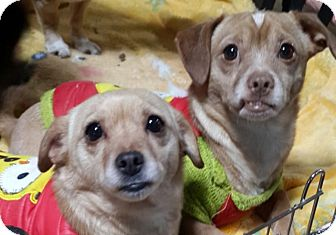 Chihuahua/Terrier (Unknown Type, Small) Mix Dog for adoption in Fairfax, Virginia - Scooby