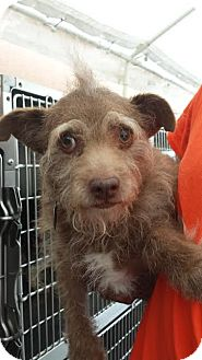 Terrier (Unknown Type, Small) Mix Dog for adoption in Westminster, California - Sammy