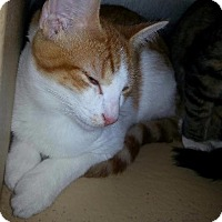 Adopt A Pet :: Topaz - Brainardsville, NY