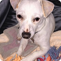 Jack Russell Terrier/Dachshund Mix Puppy for adoption in Goleta, California - Albert