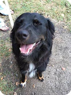 German Shepherd Dog/Australian Shepherd Mix Dog for adoption in Sugar Grove, Illinois - Ginger