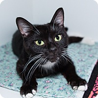 Adopt A Pet :: Ivy FIV Pos-fee waived - Seville, OH