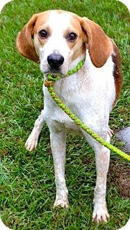 Treeing Walker Coonhound Dog for adoption in Whiteville, North Carolina - Paige