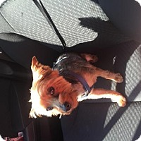 Yorkie, Yorkshire Terrier Dog for adoption in Spring, Texas - Duncan