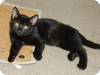Bombay Kitten for adoption in knoxville, Tennessee - Licorice-Male