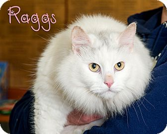 Domestic Longhair Cat for adoption in Somerset, Pennsylvania - Raggs
