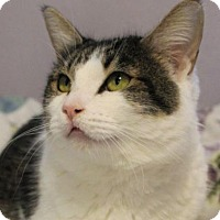 Domestic Shorthair Cat for adoption in Red Bluff, California - PEGGY- 3 LEGS/ Spayed•