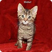 Adopt A Pet :: Hedgehog and Walnut - Arlington, VA