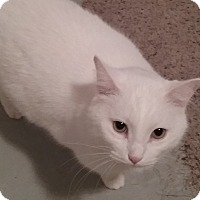Domestic Shorthair Cat for adoption in Cedar Springs, Michigan - Snow