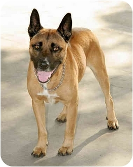 Belgian Malinois/Australian Cattle Dog Mix Dog for adoption in Marina ...