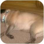 Pug Dog for adoption in Windermere, Florida - Elvis P