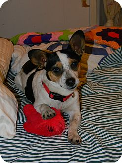 Corgi/Jack Russell Terrier Mix Dog for adoption in Germantown, Maryland - Rosie