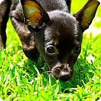 Adopt A Pet :: Mouse, Yoda, Bambi - Houston, TX