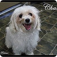 Adopt A Pet :: Chanel - Rockwall, TX