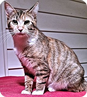 Domestic Shorthair Cat for adoption in Rocky Hill, Connecticut - Lucy2