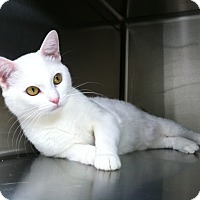 Adopt A Pet :: Shrimpy - Newport Beach, CA