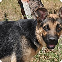German Shepherd Dog Puppy for adoption in Newport Beach, California - Smidgen