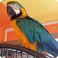 Adopt A Pet :: Bogey - Tampa, FL