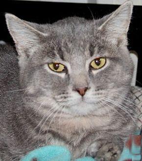 Domestic Shorthair Cat for adoption in Savannah, Missouri - Rudy
