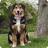 Adopt A Pet :: ZIPPELIN - Ile-Perrot, QC