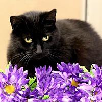 Domestic Shorthair Cat for adoption in Owenboro, Kentucky - CLARA