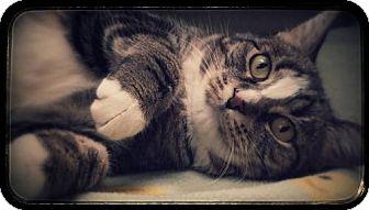British Shorthair Cat for adoption in Phoenix, Arizona - Nikki