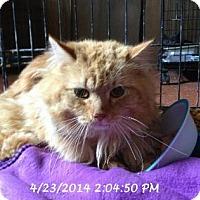 Domestic Longhair Cat for adoption in Brainardsville, New York - Morris