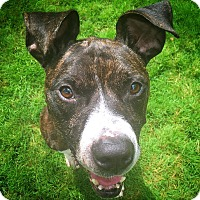 Adopt A Pet :: Brad Pit - Chicago, IL