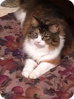 Calico Cat for adoption in Cedar, Minnesota - Bailey