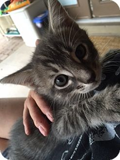 Domestic Shorthair Kitten for adoption in Mesa, Arizona - mister