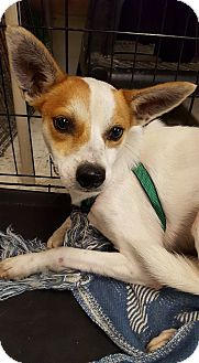 Jack Russell Terrier Mix Dog for adoption in Frankfort, Illinois - Zeke