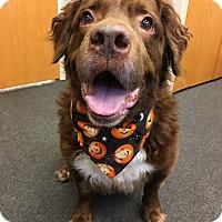 Boykin Spaniel/Labrador Retriever Mix Dog for adoption in Avon, Ohio - Freddie