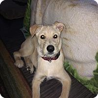 Terrier (Unknown Type, Medium)/Labrador Retriever Mix Dog for adoption in Winnipeg, Manitoba - Marcus