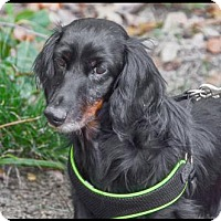 Dachshund Dog for adoption in Brick, New Jersey - Sammie