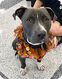 Pit Bull Terrier Dog for adoption in Mission Viejo, California - Louie