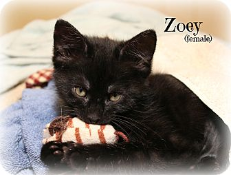 Domestic Shorthair Kitten for adoption in Glen Mills, Pennsylvania - Zoey