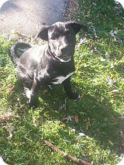 Mastiff/Labrador Retriever Mix Puppy for adoption in Hainesville, Illinois - Sirius Black