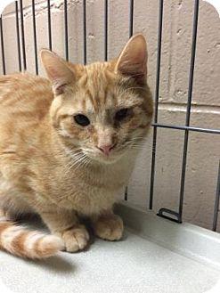 Domestic Shorthair Kitten for adoption in Chicago Heights, Illinois - Bonzai