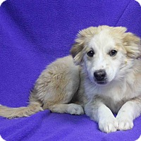 Adopt A Pet :: COLLETTE - Westminster, CO
