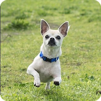 Chihuahua/Rat Terrier Mix Dog for adoption in San Francisco, California - Oliver