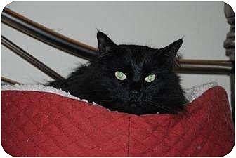 Turkish Angora Cat for adoption in Auburn, California - Shadow