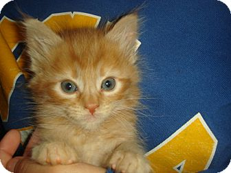 Domestic Mediumhair Kitten for adoption in Palmdale, California - Bailey