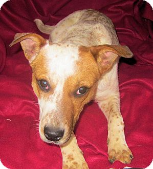 Australian Cattle Dog Mix Dog for adoption in Charleston, Arkansas - Robin-new video!