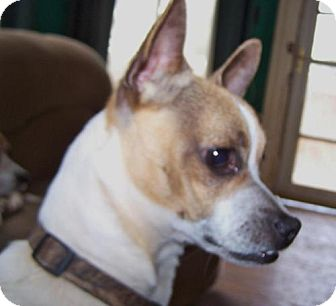 chiuaua jack russell terrier mix brinkley adopted dog greensboro ga chihuahua jack 8548