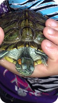 Turtle - Water for adoption in Pahrump, Nevada - Tabitha