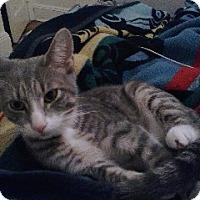 Adopt A Pet :: Gavin - Brooklyn, NY