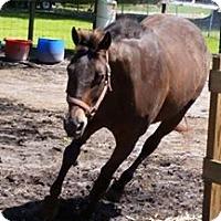 Adopt A Pet :: Brandy - Wesley Chapel, FL