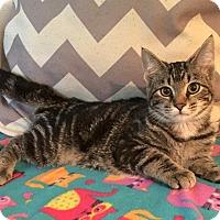 Adopt A Pet :: Wonder Woman - Addison, IL