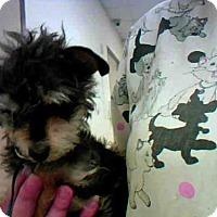 Adopt A Pet :: TEACUP - Conroe, TX