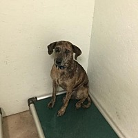 Catahoula Leopard Dog Mix Dog for adoption in Tuskegee, Alabama - Tiger